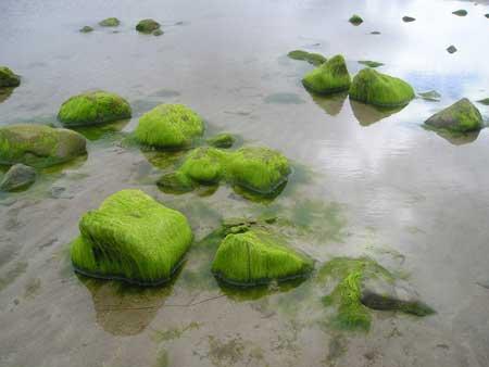 Seaweed_at_ross
