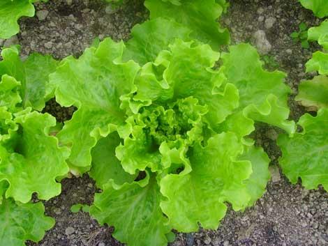 Lettuce_in_the_polytunnel_3