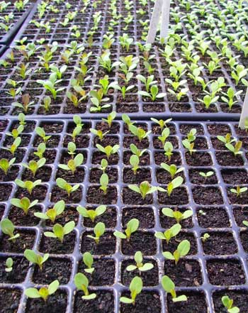 Lettuce_seedlings_2
