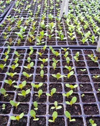 Lettuce_seedlings_2