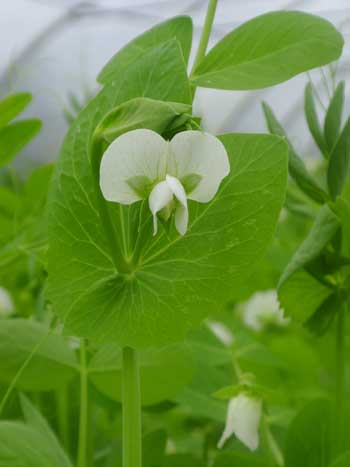 Peas_in_the_polytunnel_may07