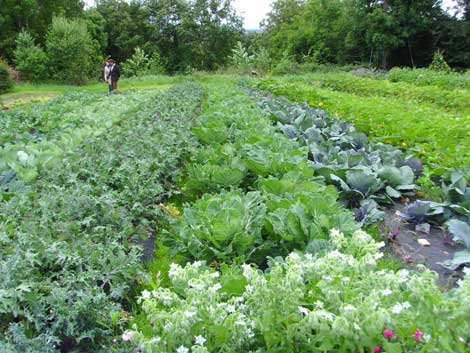 Visitors_admiring_the_brassicas_on_